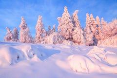 Nice vred träd som täcktes med det tjocka snölagret, klargör rosa kulör solnedgång i härlig vinterdag royaltyfri foto