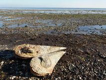 Nice walk in the Shallow with planty seashells royalty free stock photography