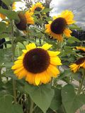 Nice and warm blooming sunflower blossoms in Amsterdam. Nice and warm blooming sunflower blossoms in Amsterdam stock images