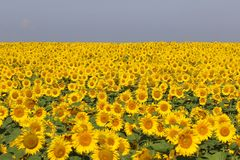 Nice and warm in summer field with blooming sunflower blossoms. royalty free stock photos