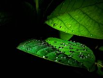 Nice water drop on green leaves shot at night stock photo