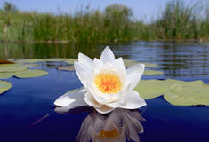Nice water lily flower Stock Photos