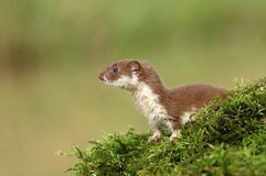 Nice weasel Stock Photos