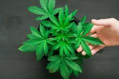 Nice weinig stuk de zorg van de het huisinstallatie van het cannabisconcept maruhuany, het groeien kruiden binnen Royalty-vrije Stock Afbeeldingen