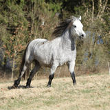 Nice welsh mountain pony running on pasturage Stock Image