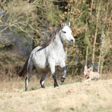 Nice welsh mountain pony running on pasturage Stock Photos