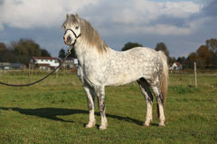 Nice welsh mountain pony stallion with halter Stock Photos