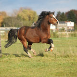 Nice welsh mountain pony stallion running Stock Photo