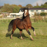 Nice welsh mountain pony stallion running and looking at you Royalty Free Stock Photos