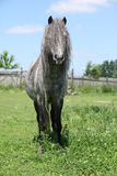 Nice welsh pony on pasturage Stock Images