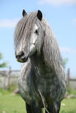 Nice welsh pony on pasturage