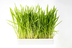 Nice Wheat grass. On white isolated background Royalty Free Stock Photos