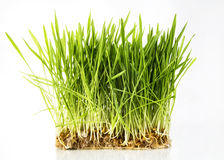 Nice Wheat grass. On white isolated background Stock Photography