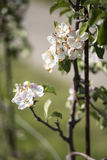 Nice white apple blossom Royalty Free Stock Images
