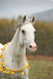 Nice white arabian stallion with flying mane Royalty Free Stock Image