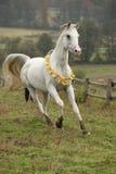 Nice white arabian stallion with flying mane Royalty Free Stock Photo