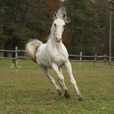 Nice white arabian stallion with flying mane Royalty Free Stock Images