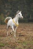 Nice white arabian stallion with flying mane Royalty Free Stock Photos