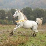 Nice white arabian stallion with flying mane Stock Images