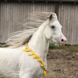 Nice white arabian stallion with flying mane Royalty Free Stock Photography