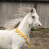 Nice white arabian stallion with flying mane Royalty Free Stock Photography