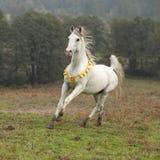Nice white arabian stallion with flying mane Stock Photos