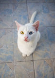Nice white cat is sitting on the tile Stock Images
