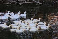 Nice white ducks on lake Royalty Free Stock Image