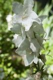 Nice white flower Campanula Royalty Free Stock Photo