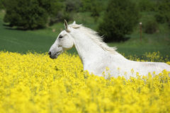 Nice white furioso running in colza field Stock Photos