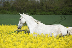 Nice white furioso running in colza field Royalty Free Stock Images