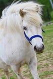 Nice white horse Stock Photography