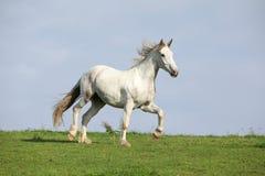 Nice white horse running on horizon. Nice white warmblood horse running on horizon Stock Photos