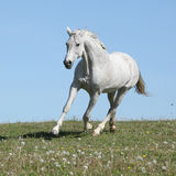 Nice white horse running on spring pasturage Royalty Free Stock Photography