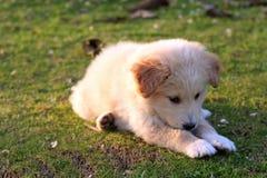 Nice white labrador. Playing on grass Stock Image
