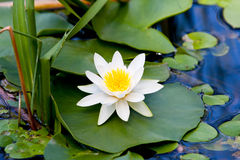 Nice white lily on lake Royalty Free Stock Image