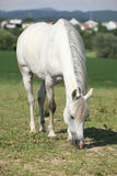 Nice white mare feed on grass Stock Photos