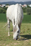 Nice white mare feed on grass Royalty Free Stock Photos