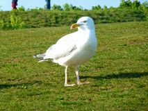 Nice White Seagull. On the Grass stock photo