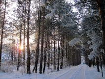 Beautiful snowy trees and way in winter, Lithuania Royalty Free Stock Photo