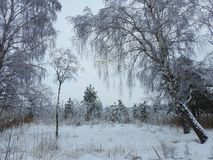 Beautiful snowy  trees in swamp  , Lithuania Stock Photo