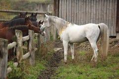 Nice white stallion meeting other horses stock photos