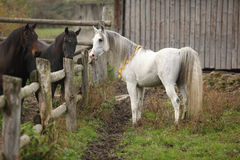 Nice white stallion meeting other horses royalty free stock image