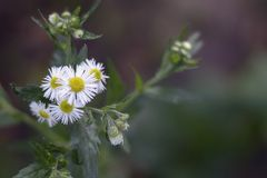 Nice white summer weed flowers in my garden royalty free stock photo