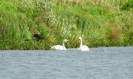 Beautiful white swans in chanel, Lithuania stock photography