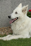 Nice White Swiss Shepherd Dog lying Stock Photography