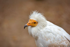 Nice white vulture Stock Image