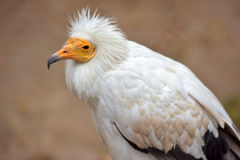 Nice white vulture Royalty Free Stock Photo