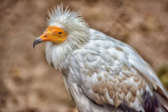 Nice white vulture Stock Photography