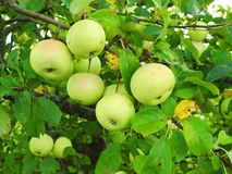 Beautiful apples on tree branch in summer, Lithuania royalty free stock photo